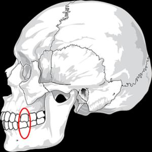 First Permanent Molar